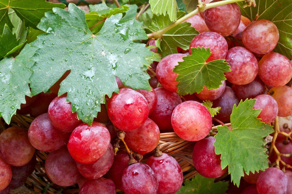Vörösszőlő kivonat, BIO, 10ml